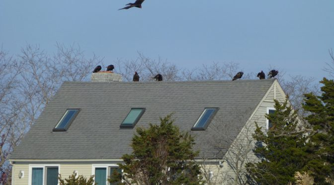The Turkey Vultures Were Everywhere By Boat Meadow On Cape Cod