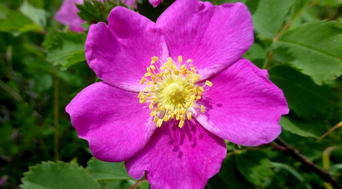 A Wild Rose From Cape Cod To Wish You A Happy Mother's Day!