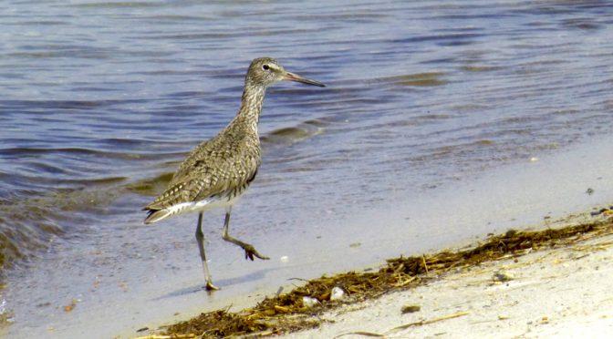 Willett On The Shore Of Cape Cod Bay