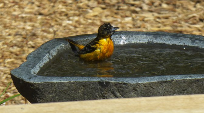 Bath Time For This Little Baltimore Oriole At Our Home On Cape Cod