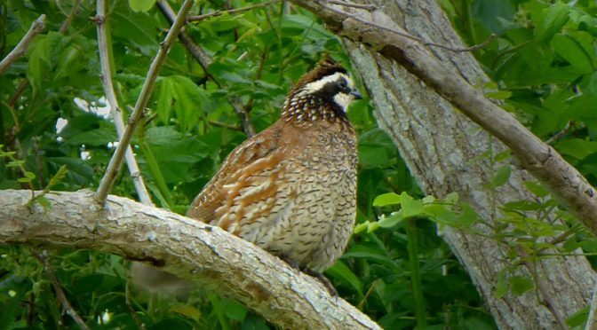 Beautiful Northern Bobwhite At Fort Hill In Eastham On Cape Cod