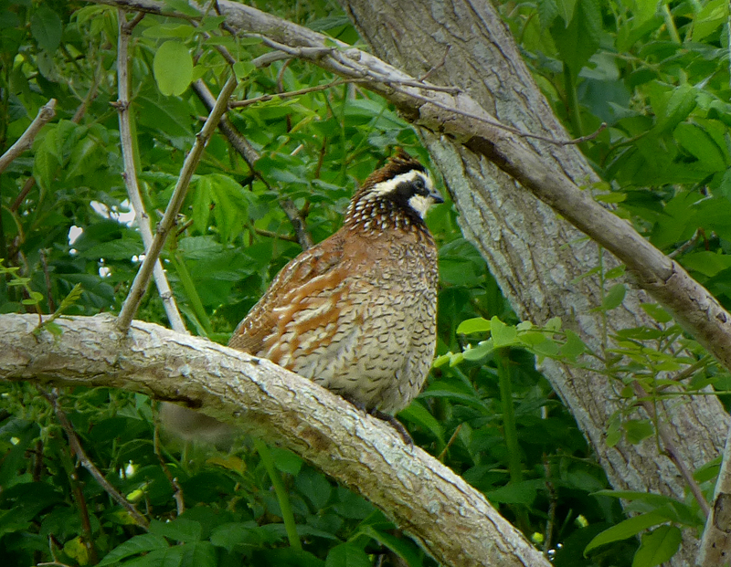 Beautiful northern bobwhite at fort hill in eastham on for Call girls cape cod