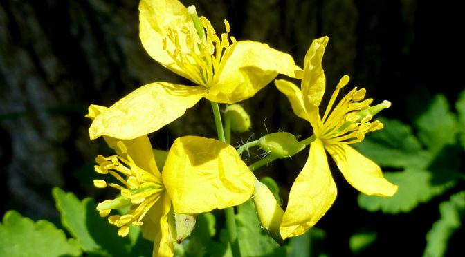 Pretty Yellow Celandine In Eastham On Cape Cod