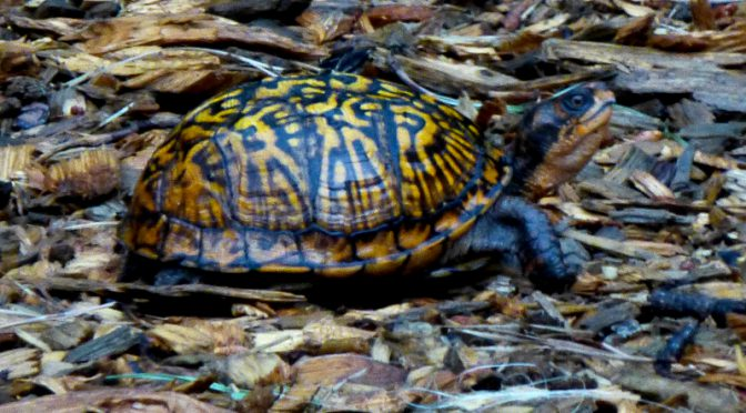 Common Box Turtle In Our Yard On Cape Cod