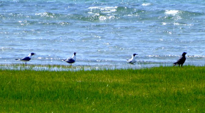 Laughing Gulls At Boat Meadow Beach On Cape Cod