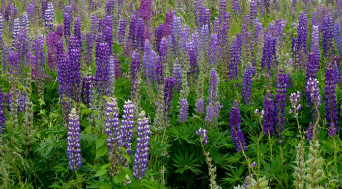 The Purple Lupine Is Spectacular At Fort Hill In Eastham On Cape Cod
