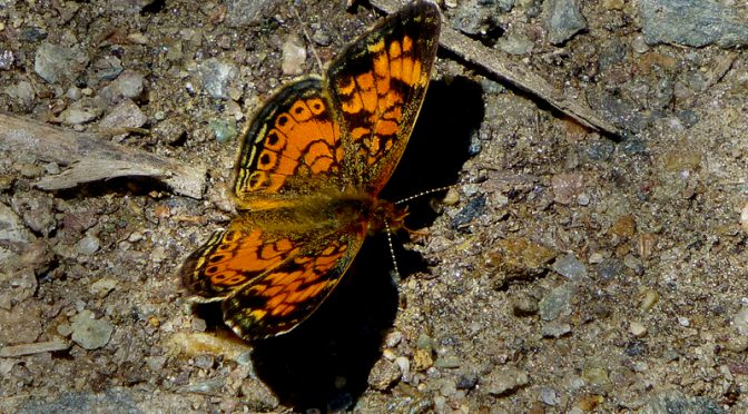 Beautiful Orange And Black Pearl Crescent Butterfly At Fort Hill On Cape Cod