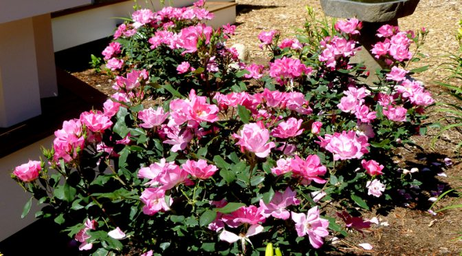 Our Pink Roses Are Spectacular Here On Cape Cod!