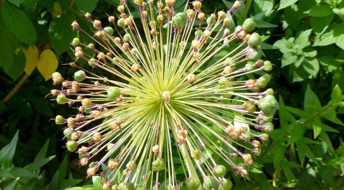 Native Bristly Sarsaparilla Wildflower In Provincetown On Cape Cod