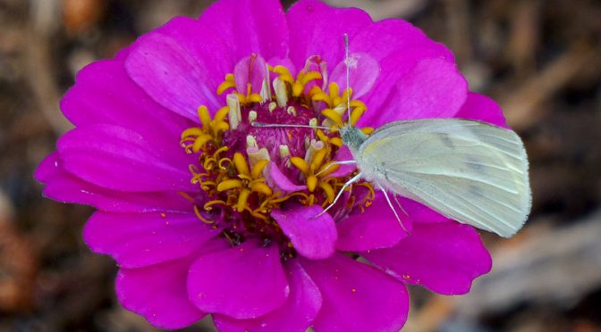 Cabbage White Butterfly On My Zinnia On Cape Cod