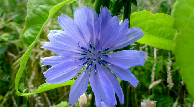 Pretty Blue Chicory Wildflower On Cape Cod
