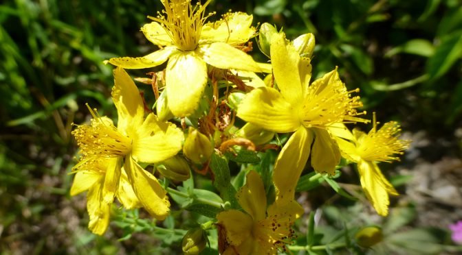 Pretty Yellow Common St.-John's-Wort Wildflower In Eastham On Cape Cod