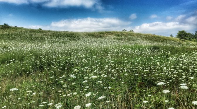 Beautiful White Queen Anne's Lace Wildflowers Blooming All Over Fort Hill In Eastham On Cape Cod