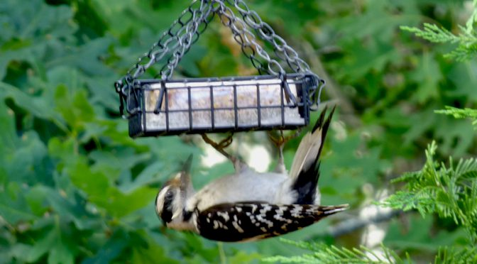 Black And White Hairy Woodpecker At Our Suet Feeder Here On Cape Cod