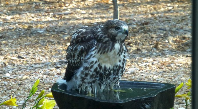 Baby Red-Tailed Hawk In Our Yard On Cape Cod