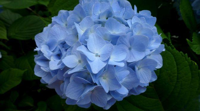 The Hydrangea Is Cape Cod's Flower