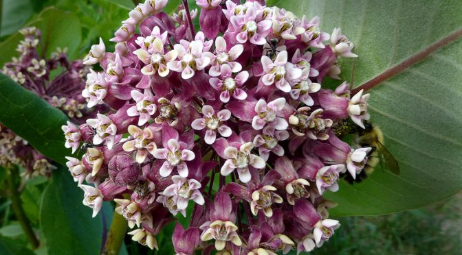 Lots Of Pretty Common Milkweed Wildflowers On Cape Cod This Summer