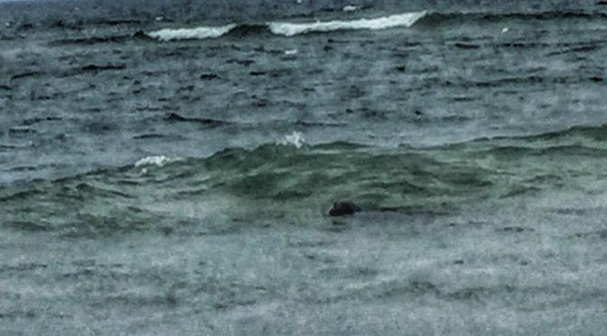 Playful Seals At Coast Guard Beach On Cape Cod