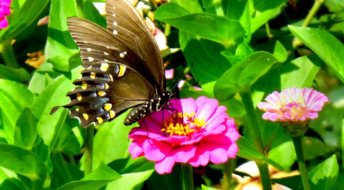 Beautiful Black Swallowtail Butterfly At My Home On Cape Cod
