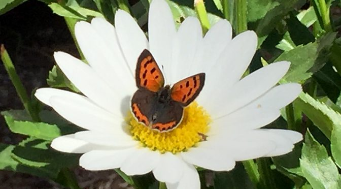 Pretty Little Copper Butterfly On the Daisy At My Home On Cape Cod
