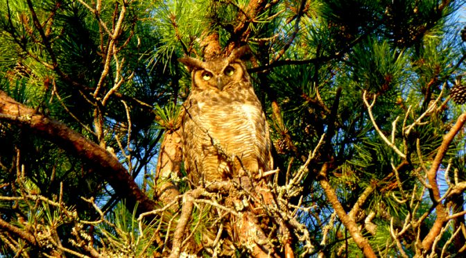 Great Horned Owl Outside Our Bedroom Window Here On Cape Cod