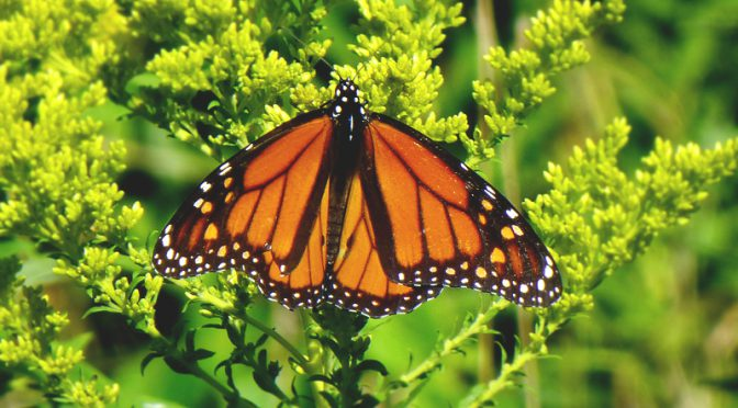 Gorgeous Monarch Butterfly At Fort Hill On The National Seashore On Cape Cod