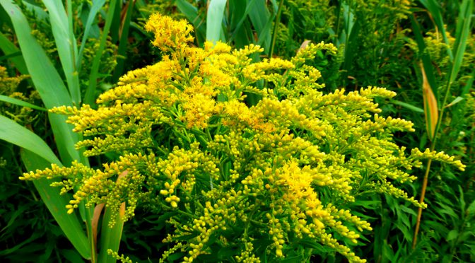 Seaside Goldenrod Wildflowers Are Blooming Near The Salt Marshes On Cape Cod