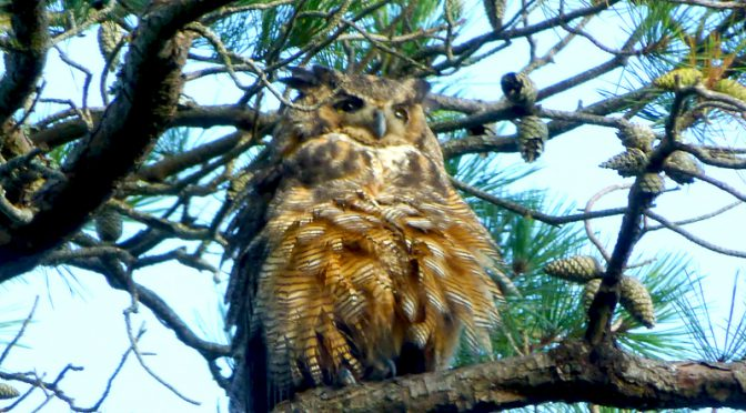Great Horned Owl Keeps Coming To Our Bird Bath On Cape Cod