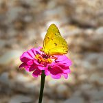 orangesulphurbutterfly