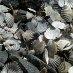 scallopshellsrocks