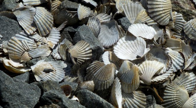Scallop Shells Under The Bridge In Eastham On Cape Cod