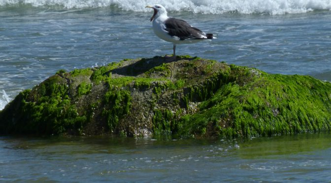Funny Seagull At Coast Guard Beach In Eastham On Cape Cod