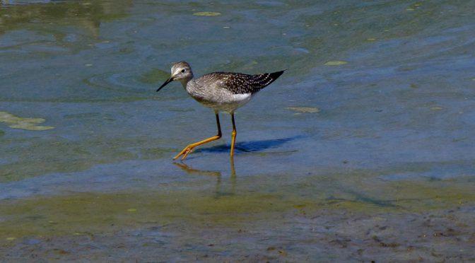 Lesser Yellowlegs At The Mass Audubon Wildlife Sanctuary In Wellfleet On Cape Cod