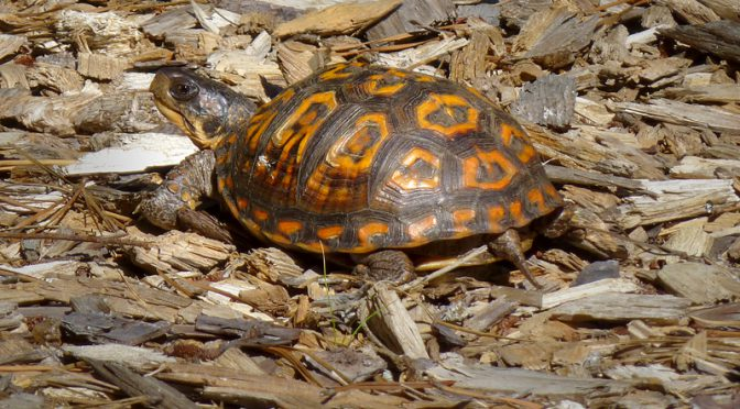 Box Turtle In Our Yard Here On Cape Cod