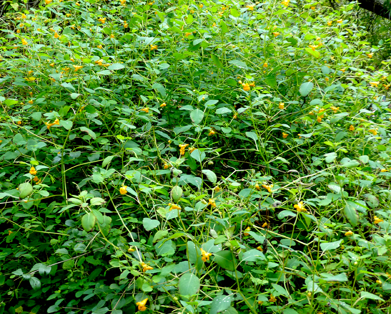 jewelweed2
