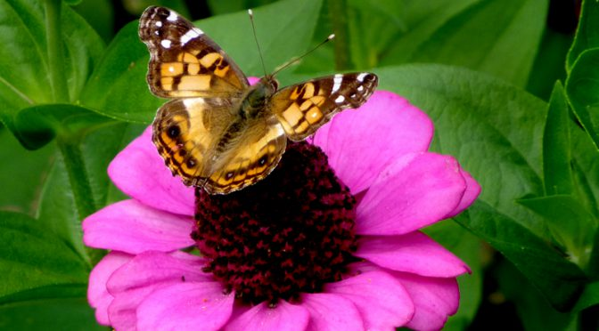 Beautiful Painted Lady Butterfly Feeding On My Zinnias On Cape Cod