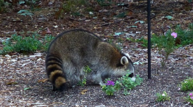 Huge Raccoon In Our Yard Here On Cape Cod