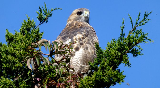 Beautiful Red-Tailed Hawk At Boat Meadow On Cape Cod