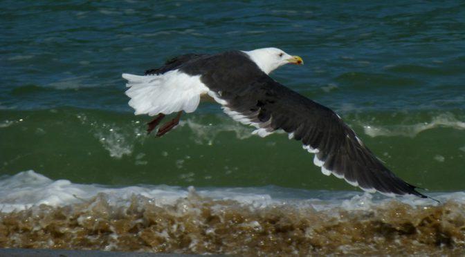 Seagull In Flight At Coast Guard Beach On Cape Cod
