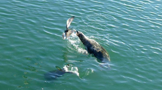 Seal And Seagull Fighting For Fish At Chatham Fish Pier On Cape Cod