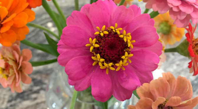 My Zinnias Are Still Blooming Here on Cape Cod