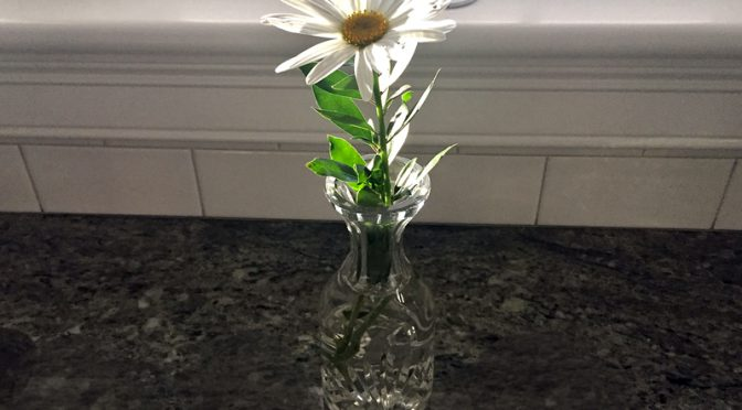 Last Daisy Of The Season At Our Home On Cape Cod