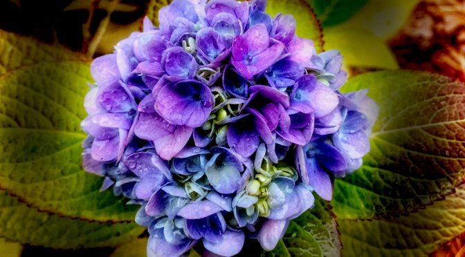 Pretty Bluish-Purple Hydrangeas Are Still Blooming Here On Cape Cod