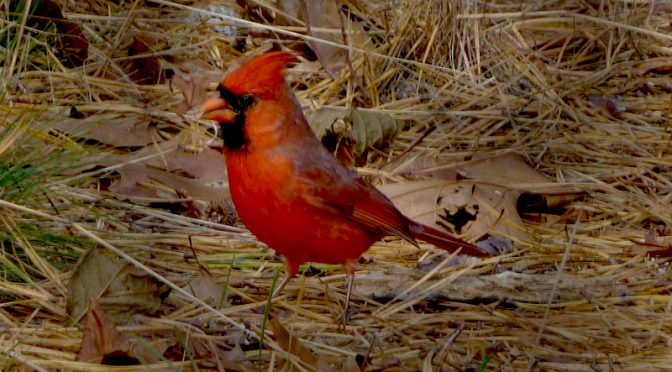 Beautiful Red Cardinal Looking For Food At Wiley Park On Cape Cod