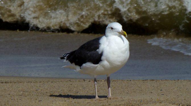 Seagull At Coast Guard Beach On Cape Cod