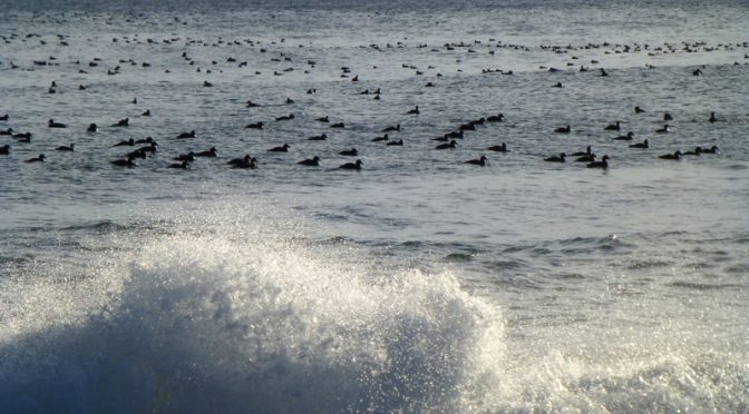 Hundreds Of Birds In The Water Of Nauset Beach In Orleans On Cape Cod