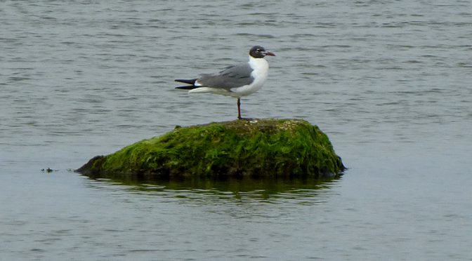Laughing Gull At Nauset Marsh On Cape Cod
