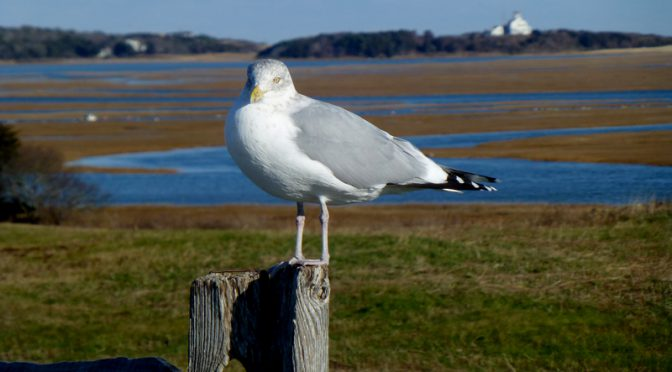 Posing Seagull At Nauset Marsh On The National Seashore On Cape Cod