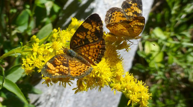 Silvery Checkerspot Butterflies On The Bike Trail To Coast Guard Beach