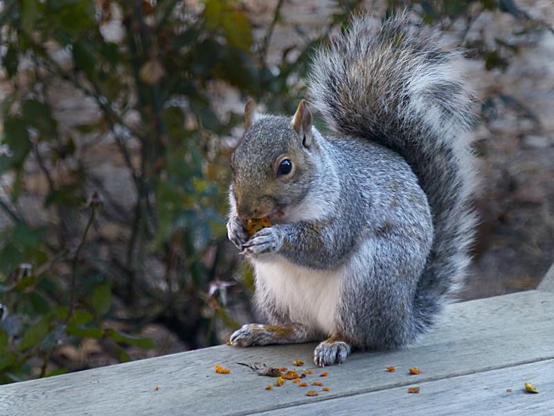 squirrelrose